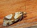 Aethes hartmanniana - Scabious conch (26448430037).jpg