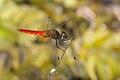 Aethriamanta brevipennis-Kadavoor-2016-02-06-001.jpg