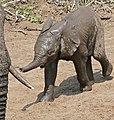 African Elephant (Loxodonta africana) calf (32229051711).jpg