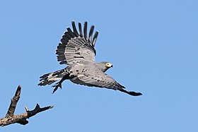 African harrier-hawk (Polyboroides typus typus) taking off.jpg
