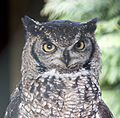 African spotted Eagle Owl (4451301502).jpg