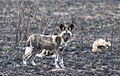 African wild dog, Lycaon pictus (young) at uMkhuze Game Reserve, kwaZulu-Natal, South Africa (15242333750).jpg