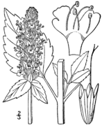 Agastache nepetoides drawing.png