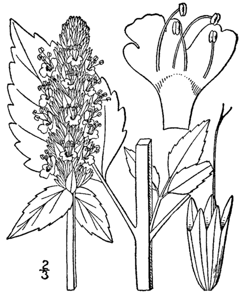 File:Agastache nepetoides drawing.png