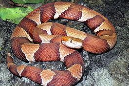 огневка фото змея