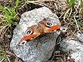 Aglais io - Tagpfauenauge auf einem Stein.jpg