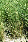 Agropyron fragile plant.jpg