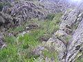 Agrostion alpinae4.JPG