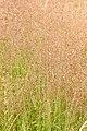 Agrostis.stolonifera2.-.lindsey.jpg