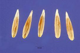 Agrostis exarata seeds.jpg
