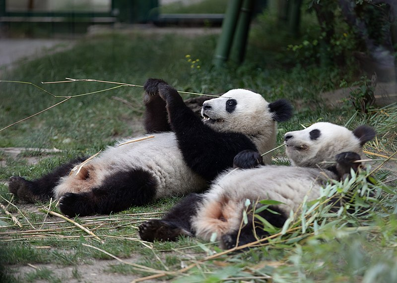 Datei:Ailuropoda melanoleuca Zoo Schönbrunn 2018 f.jpg