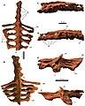 Akainacephalus sacrum.jpg