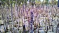 Al khore Mangrove forest (Purpule Island) - panoramio (49).jpg