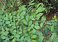 Alangium salviifolium leaves 14.JPG