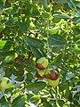 Alb-Z. jujuba-fruit-3.jpg