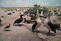 Albatross diorama, AMNH (18158931006).jpg