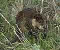 Alberta Beaver.jpg