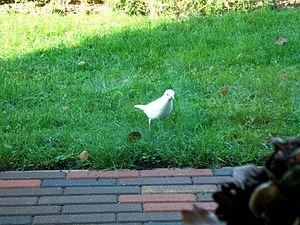 Witte Merel (albino)