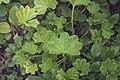 Alchemilla vulgaris SK.jpg