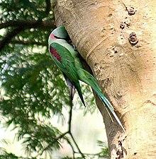 Alexandrine parakeet - Wikipedia