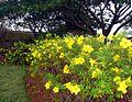Allamanda cathartica flowers 3.JPG