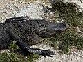 Alligator mississippiensis eyes closed.jpg