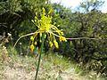 Allium flavum sl4.jpg