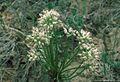 Allium textile.jpg