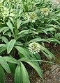 Allium victorialis kz03.jpg