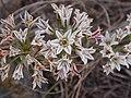 Alliumlacunosumlac.jpg