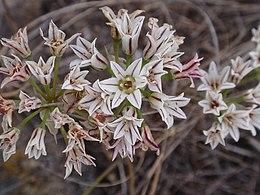 Alliumlacunosumlac
