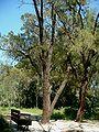 Allocasuarina inophloia at Ilanot arboretum-RJP.jpg