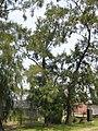 Allocasuarina verticillata4.jpg