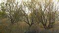Almond autumn (2008). (10357655163).jpg
