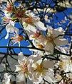 Almond spring flower.jpg