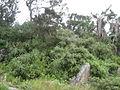 Aloe arborescens on Mount Gorongosa (4405799505).jpg