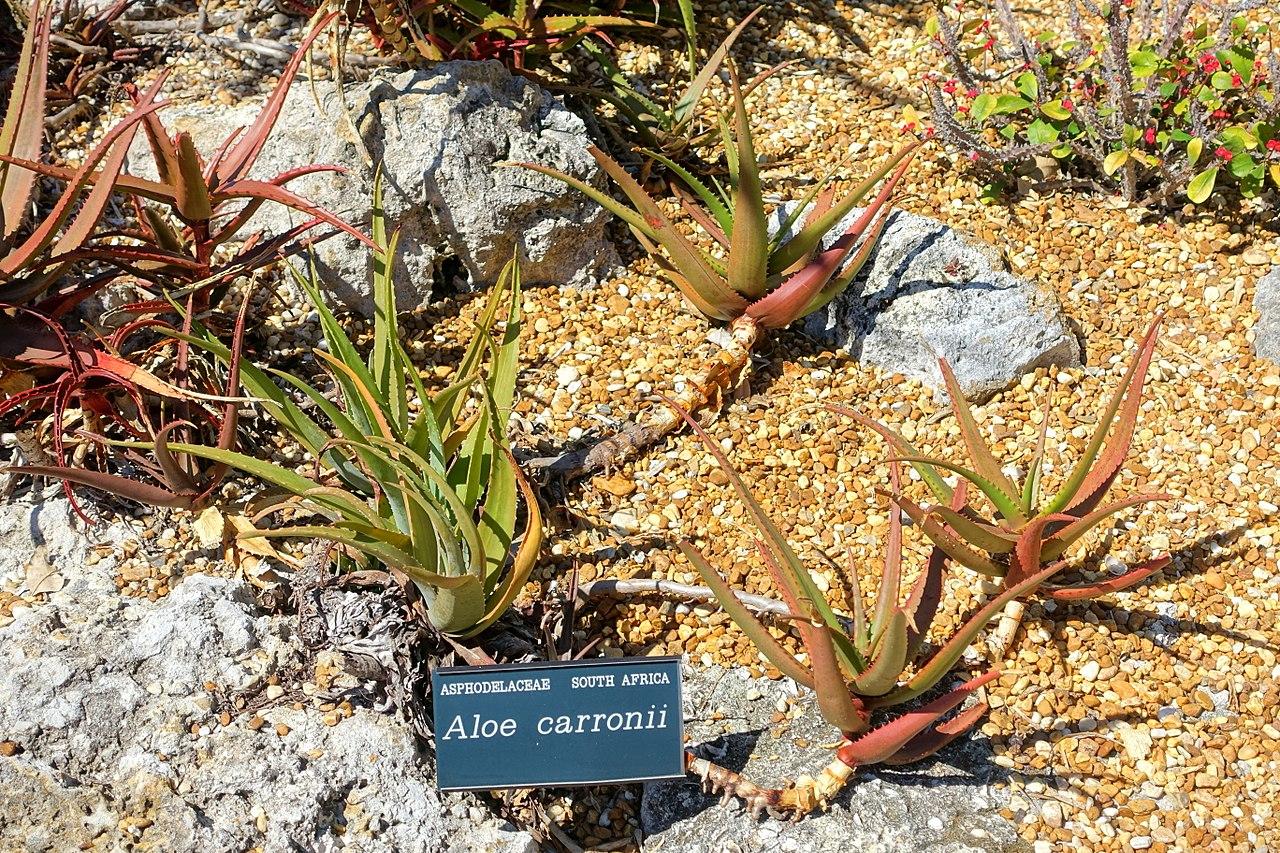 File:Aloe cameronii (Aloe carronii) - Marie Selby Botanical Gardens ...