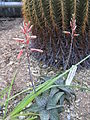 Aloe deltoideodonta2.jpg