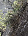 Aloe sp. long grass 8 (10507169833).jpg