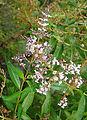 Aloysia citriodora or A. triphylla (8729000253).jpg