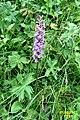 Alpine flora - an orchid (Gru) (37514162320).jpg