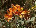 Alstroemeria aurea.jpg