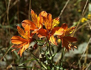 Alstroemeria aurea in Chile