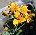 Alstroemeria cultivar at Gibberd Garden Essex England 2.jpg