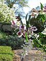 Alstroemeria mystery maroon and white var - Flickr - peganum (1).jpg