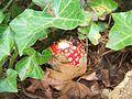 Amanita muscaria (4184566686).jpg