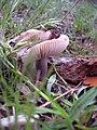 Amanita sp. 3248.jpg