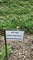 Amaranthaceae plant.jpg