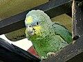 Amazona amazonica (Lora cariamarilla) (15189602001).jpg