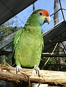 A green parrot with light-blue cheeks, a yellow mark between the eyes and the beak, a red forehead, a brown nape, and light-grey eye-spots